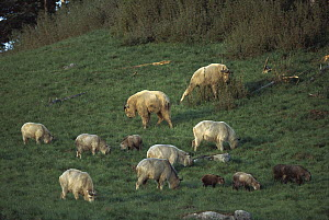 Takin (Budorcas taxicolor) family group grazing, Qinling Mountains, Shaanxi, China - Xi Zhinong