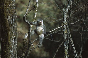 Yunnan Snub-nosed Monkey (Rhinopithecus bieti) in tree, Weixi County, Yunnan Province, China - Xi Zhinong