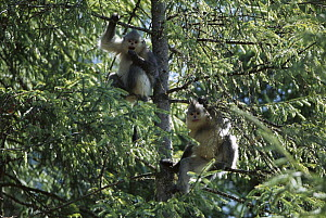 Yunnan Snub-nosed Monkey (Rhinopithecus bieti) pair in tree, Weixi County, Yunnan Province, China - Xi Zhinong