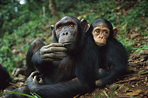 Chimpanzee (Pan troglodytes) adult female with orphan baby she has adopted, Gabon - Cyril Ruoso