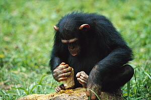 Chimpanzee (Pan troglodytes) using tools to crack nuts, Gabon - Cyril Ruoso