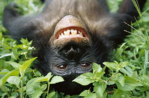 Bonobo (Pan paniscus) smiling while laying on ground, ABC Sanctuary, Democratic Republic of the Congo  -  Cyril Ruoso