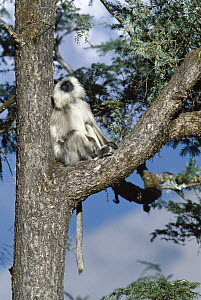 Central Himalayan Langur (Semnopithecus schistaceus) adult resting in a tree, winter, Himalaya Mountains at 2,500 meters elevation, Nepal - Cyril Ruoso