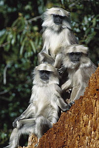 Central Himalayan Langur (Semnopithecus schistaceus) trio in the Himalayan Mountains at 2,500 meters elevation, winter, Nepal - Cyril Ruoso