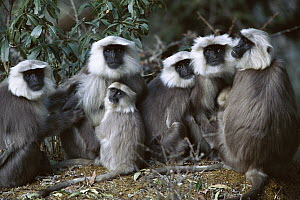 Central Himalayan Langur (Semnopithecus schistaceus) family group huddled together in the Himalayan Mountains at 2,500 meters elevation in winter, Nepal - Cyril Ruoso