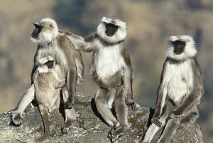 Central Himalayan Langur (Semnopithecus schistaceus) three adults, one holding a baby, Himalayan Mountains in winter at 2,500 meters elevation, Nepal - Cyril Ruoso