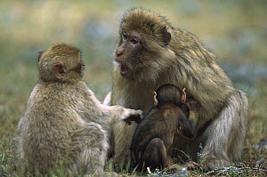 Barbary Macaque (Macaca sylvanus) mother with infant reprimanding her older child, Morocco - Cyril Ruoso