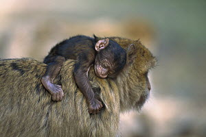 Barbary Macaque (Macaca sylvanus) resting infant carried on its mother's back, Morocco  -  Cyril Ruoso