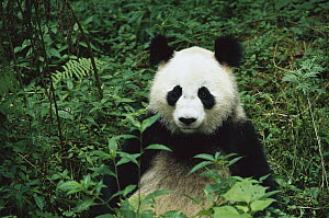 Giant Panda (Ailuropoda melanoleuca) sitting in vegetation, China Conservation and Research Center for the Giant Panda, Wolong Nature Reserve, China  -  Cyril Ruoso