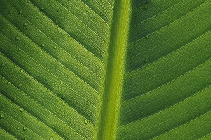 Banana (Musa sp) close up of leaf with water droplets, Rwanda  -  Cyril Ruoso