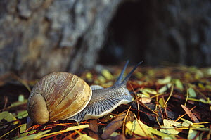 Giant African Land Snail (Achatina fulica), southern Madagascar  -  Cyril Ruoso