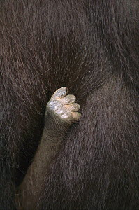Orangutan (Pongo pygmaeus) close-up of an infant's hand holding tightly to its mother, Kalimantan, Indonesia - Cyril Ruoso