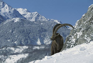 Alpine Ibex (Capra ibex) adult male standing in snowy mountains, Alps, France  -  Cyril Ruoso