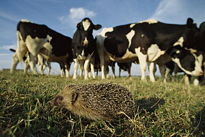 Brown-breasted Hedgehog (Erinaceus europaeus) in a pasture with a herd of Domestic Cattle (Bos taurus), Europe  -  Cyril Ruoso