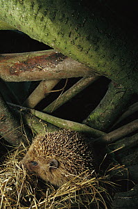 Brown-breasted Hedgehog (Erinaceus europaeus) in its nest amid tree roots, Europe  -  Cyril Ruoso