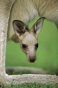 Eastern Grey Kangaroo (Macropus giganteus) joey peeking out of its mother's pouch, Australia - Cyril Ruoso