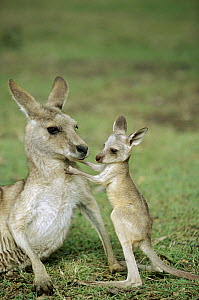 Eastern Grey Kangaroo (Macropus giganteus) mother with joey, Australia - Cyril Ruoso