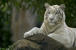 Bengal Tiger (Panthera tigris tigris) white adult resting, native to Asia - Cyril Ruoso