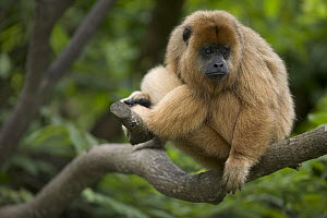 Black Howler Monkey (Alouatta caraya) female resting in tree, native to South America  -  Cyril Ruoso