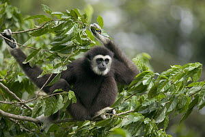 White-handed Gibbon (Hylobates lar) sitting in tree, native to southeast Asia  -  Cyril Ruoso