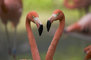 Greater Flamingo (Phoenicopterus ruber) pair, principally native to the Caribbean region and Galapagos Islands, Ecuador  -  Cyril Ruoso