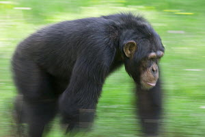 Bonobo (Pan paniscus) knuckle-walking through grass, La Vallee Des Singes Primate Center, France  -  Cyril Ruoso