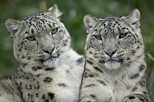 Snow Leopard (Uncia uncia) pair sitting together, native to Asia and Russia  -  Cyril Ruoso