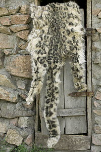 Snow Leopard (Uncia uncia) pelt confiscated by government anti-poaching team, Kyrghyzstan - Cyril Ruoso