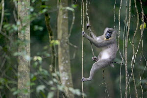 Drill (Mandrillus leucophaeus) young female sitting amid lianas, Pandrillus Drill Sanctuary, Nigeria - Cyril Ruoso