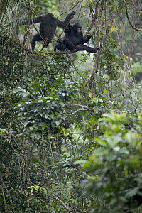 Chimpanzee (Pan troglodytes) pair with baby, Pandrillus Drill Sanctuary, Nigeria - Cyril Ruoso