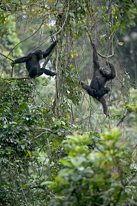 Chimpanzee (Pan troglodytes) pair with baby climbing vines, Pandrillus Drill Sanctuary, Nigeria - Cyril Ruoso
