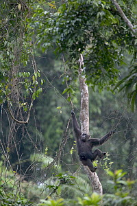 Chimpanzee (Pan troglodytes) adult female swinging with baby, Pandrillus Drill Sanctuary, Nigeria - Cyril Ruoso