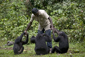 Chimpanzee (Pan troglodytes) trio playing with keeper, Pandrillus Drill Sanctuary, Nigeria - Cyril Ruoso