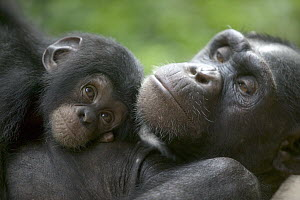 Chimpanzee (Pan troglodytes) adult female and infant, Pandrillus Drill Sanctuary, Nigeria - Cyril Ruoso