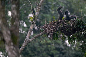 Chimpanzee (Pan troglodytes) adult resting in night nest, Pandrillus Drill Sanctuary, Nigeria - Cyril Ruoso