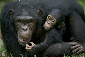 Chimpanzee (Pan troglodytes) adult female with infant, Pandrillus Drill Sanctuary, Nigeria - Cyril Ruoso