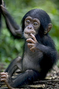 Chimpanzee (Pan troglodytes) infant, Pandrillus Drill Sanctuary, Nigeria - Cyril Ruoso