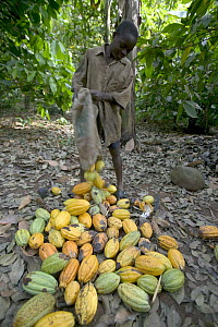 Cocoa (Theobroma cacao) boy helping with harvest, Boje Village, Cross River State, Nigeria - Cyril Ruoso