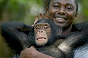 Chimpanzee (Pan troglodytes) young male playing with his keeper, Pandrillus Drill Sanctuary, Nigeria  -  Cyril Ruoso