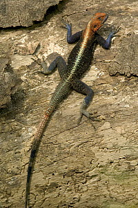 Red-headed Rock Agama (Agama agama) male, Boje Village, Cross River State, Nigeria - Cyril Ruoso