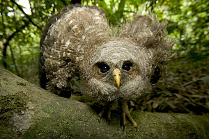 Owl fledgeling left nest too early cannot fly yet, Cross River State, Nigeria - Cyril Ruoso