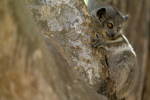 White-footed Sportive Lemur (Lepilemur leucopus) nocturnal hunter, Berenty Private Reserve, Madagascar - Cyril Ruoso