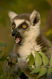 Ring-tailed Lemur (Lemur catta) calling, vulnerable, Berenty Private Reserve, Madagascar - Cyril Ruoso
