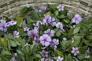 Rosy Periwinkle (Catharanthus roseus) leaves and flowers used for anti-cancer medicine, Berenty Private Reserve, Madagascar - Cyril Ruoso