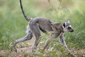 Ring-tailed Lemur (Lemur catta) mother and baby showing hair loss (alopecia) due to poisoning from Central American introduced Lead Tree (Leucaena leucocephala) vulnerable, Berenty Private Reserve, Ma...  -  Cyril Ruoso