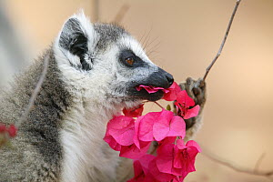 Ring-tailed Lemur (Lemur catta) eating a flower, vulnerable, Berenty Private Reserve, Madagascar  -  Cyril Ruoso