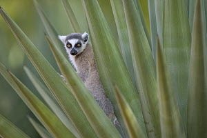 Ring-tailed Lemur (Lemur catta) peeking out from Aloe (Aloe vahombe) leaves, vulnerable, Berenty Private Reserve, Madagascar - Cyril Ruoso