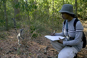 Andrianome Vonjy Nirin, a Malagasy researcher studies impact of Lead Tree (Leucaena leucocephala) on the Ring-tail Lemur (Lemur catta). Plant is suspected of poisoning lemurs, Berenty Private Reserve,...  -  Cyril Ruoso