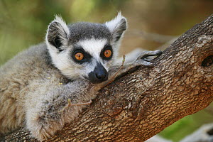 Ring-tailed Lemur (Lemur catta) resting on a tree branch, vulnerable, Berenty Private Reserve, Madagascar  -  Cyril Ruoso
