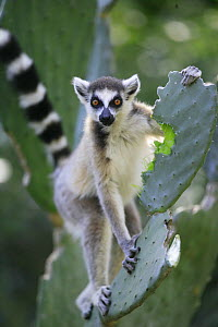 Ring-tailed Lemur (Lemur catta) eating Opuntia (Opuntia sp) cactus, introduced from South America, it became a very important food subsistance for Lemurs, cattle and even humans, vulnerable, Berenty P... - Cyril Ruoso